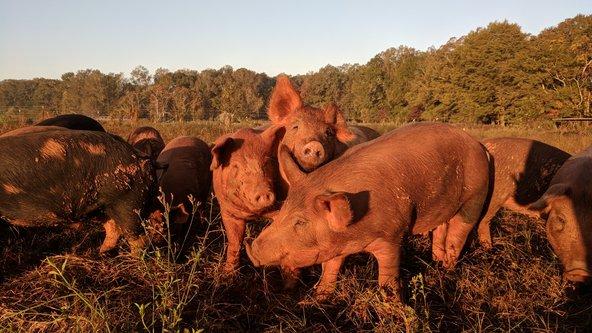 whiteoak_pigs